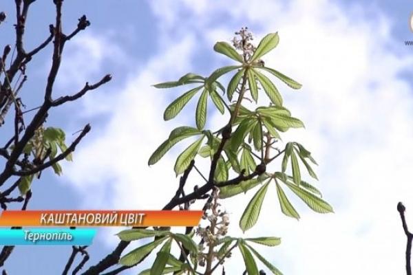 У Тернополі знову цвітуть каштани (Відео)