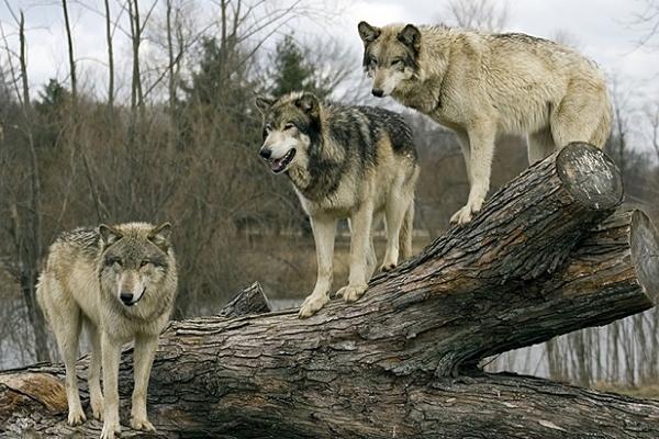 На Тернопільщині розгулює зграя вовків (Відео)