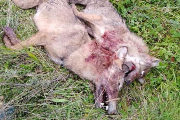На Тернопільщині люди знищують стаю хижаків, які нападають на домашніх тварин (Відео)