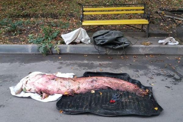 Тернополянин упіймав велетенського сома (Фото)