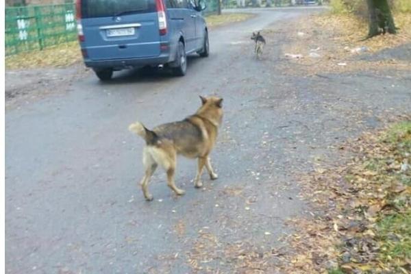У Збаражі собаки нападають на людей (Фото)