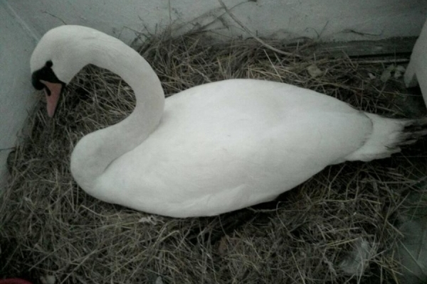 Жива знахідка: жителька Тернопільщини знайшла лебедицю