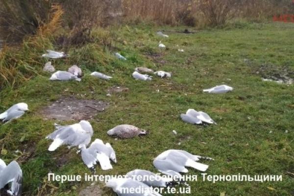 З'ясували причину загибелі чайок на Набережній у Тернополі