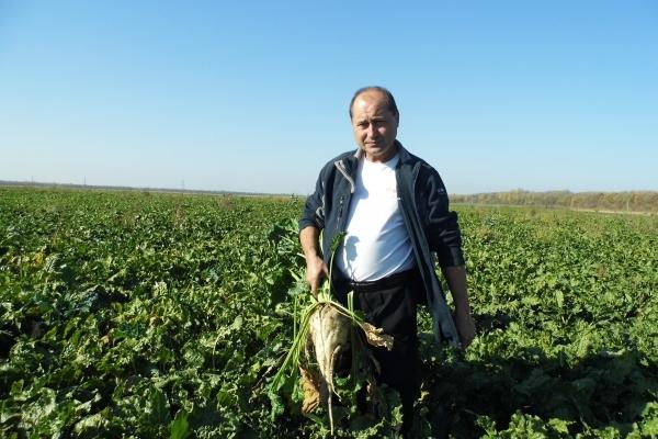 Аграрна Тернопільщина: Бурякові жнива на завершенні