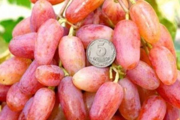 Фермер з Тернопільщини вирощує більше 80 сортів винограду рекордних розмірів