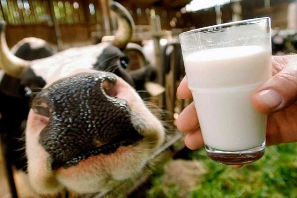 В агроформуванні на Тернопільщині корова щодня дає рекордних 31-33 кг молока