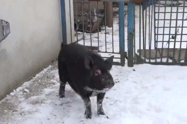 Свиня Маруся з під Тернополя – справжній символ 2019 року
