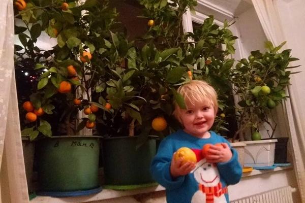 В Олега Тихого з Тернопільщини лимони родять по півкілограма (Фото)