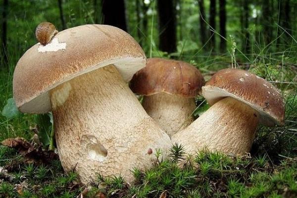 Як виростити білі гриби на городі або на підвіконні