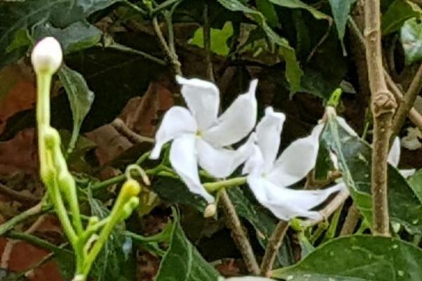 Яку квітку не дарують жінкам (Фото)