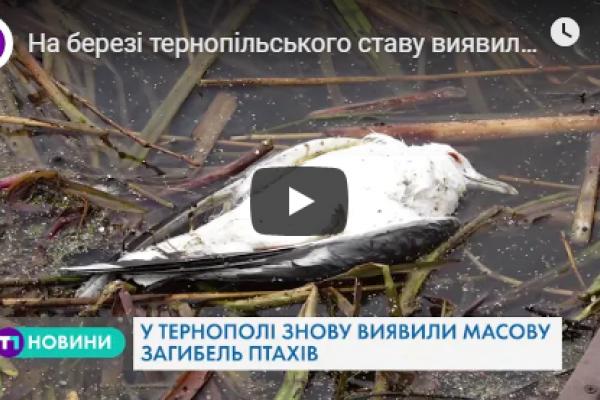 Масова загибель птахів у Тернополі (Відео)
