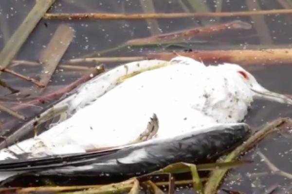 Фахівці повідомили ймовірну причину отруєння перелітних птахів у Тернополі
