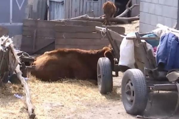 На Тернопільщині родина тримає в підвалі трупи корів: сморід розноситься селом (Відео)