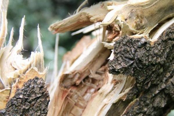 У Бережанському районі чоловіка насмерть травмувало дерево
