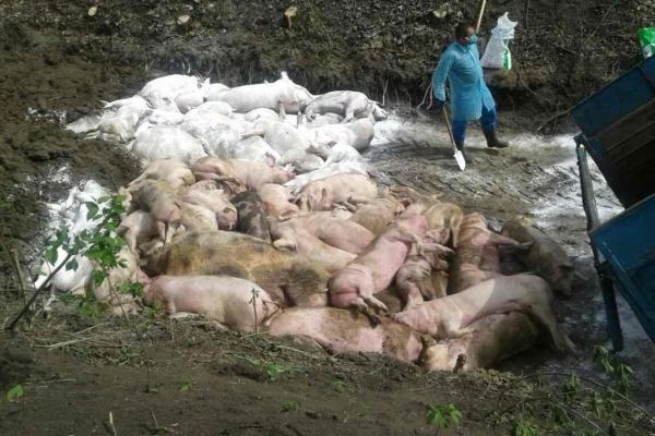 На Тернопільщині виявили африканську чуму свиней