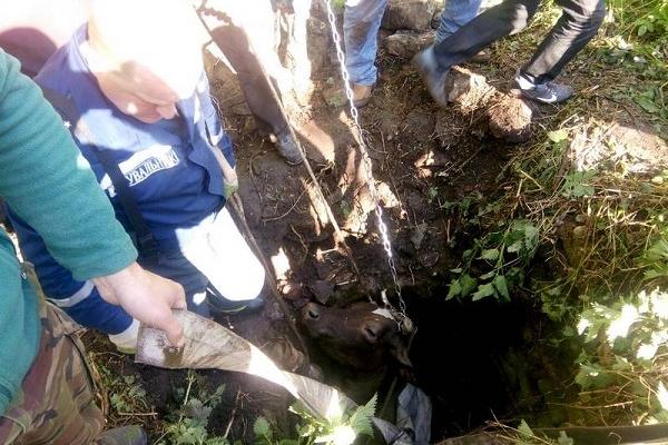В Бучацькому районі корова впала у трьохметровий колодязь