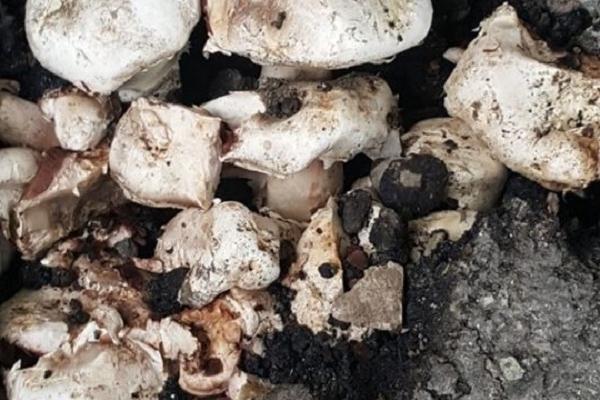 На Тернопільщині гриби ростуть з-під асфальту
