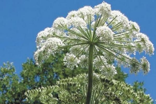 Небезпечна рослина масово розростається на Тернопільщині