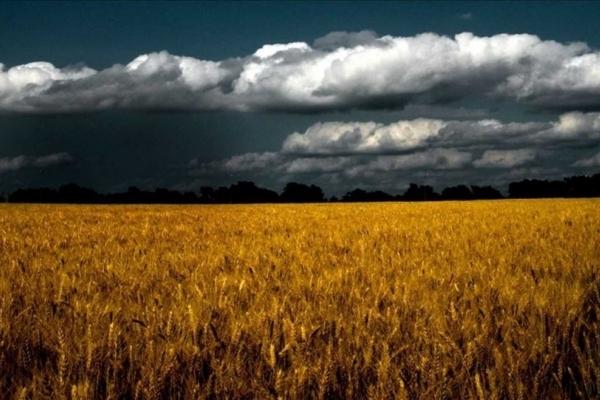 Через негоду аграрії Тернопілля зазнали мільйонних збитків