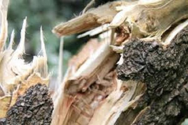 У Тернополі дерево впало на жінку
