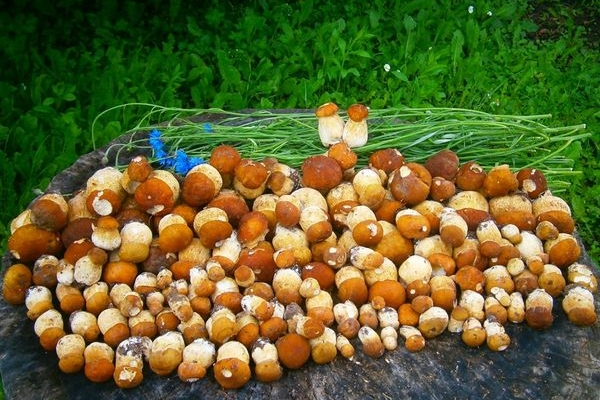 Сезон білих грибів на Тернопільщині розпочато