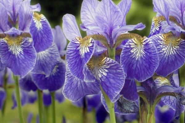 На Кременеччині квітує дивовижна колекція ірисів (Фото)