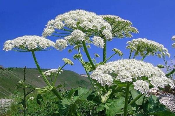 У Бучачі повідомляють про небезпечні рослини