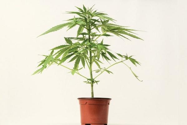 Житель Підволочиського району замість вазонів у горщиках вирощував коноплі