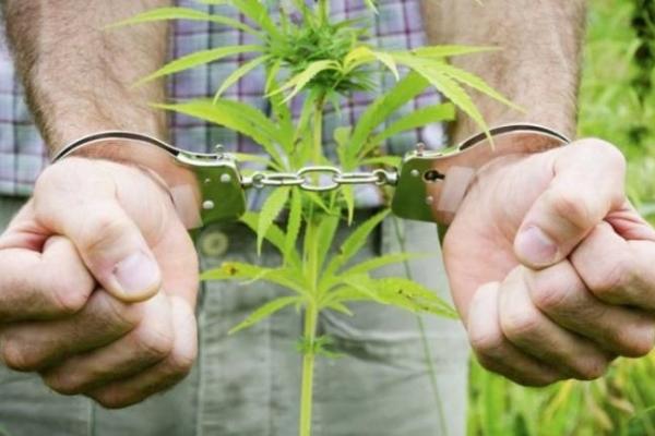 Поліцейські вилучили у краян близько сотні рослин марихуани