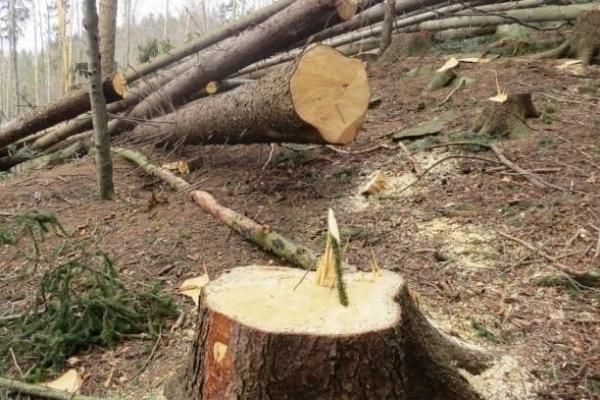 На Тернопільщині незаконно вирубують ліс