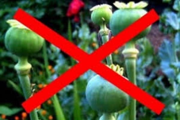Попри заборону, жителі Тернопільщини вирощують мак