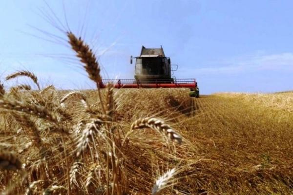 На Тернопільщині рекордний врожай пшениці