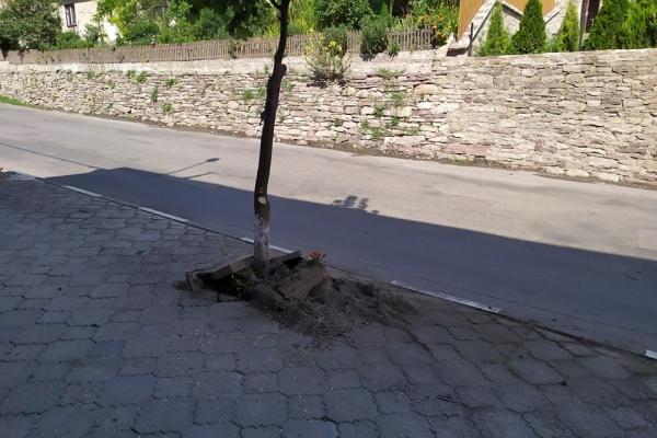 У Бучачі розшукують зловмисника, що знищив чотири дерева (Фото)