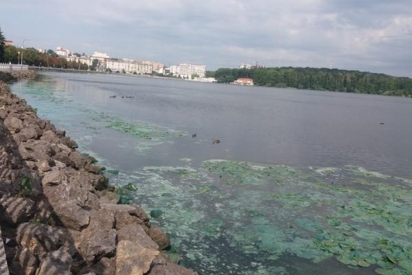 Тернопільське озеро біля берега почало цвісти й «пахнути»
