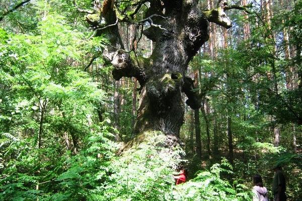 Хто на Шумщині попіклується про 500-600-річного велета-дуба?