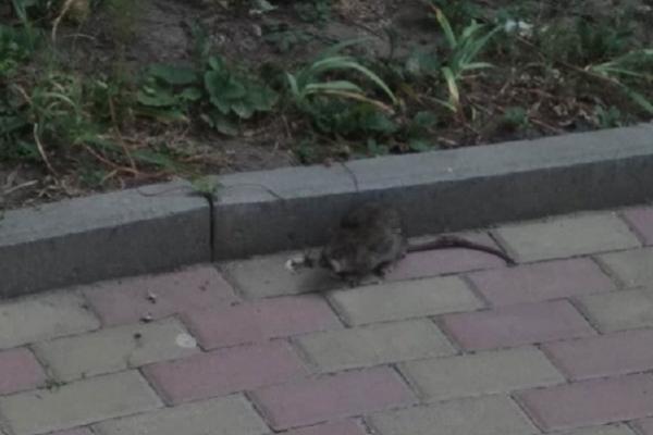 У Тернополі діти фотографують щурів, які вилазять із відкритих смітників (Фотофакт)
