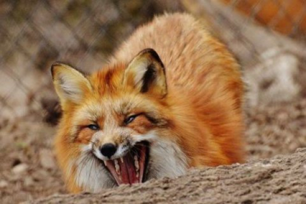 На Тернопільщині з літаків розкидатимуть вакцину для лисиць