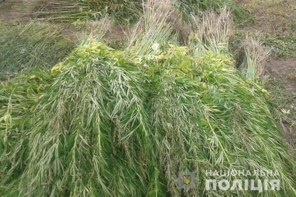 Жителька Шумського району вирощувала у себе на городі плантацію конопель