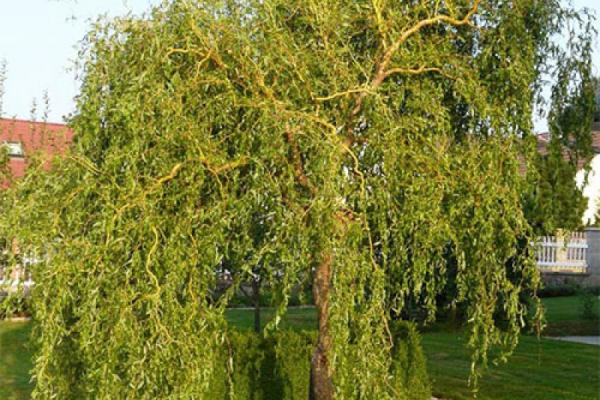 У Тернополі висадять японські декоративні дерева