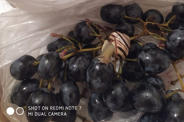Тернополянка придбала равлика разом з виноградом в одному з магазинів міста