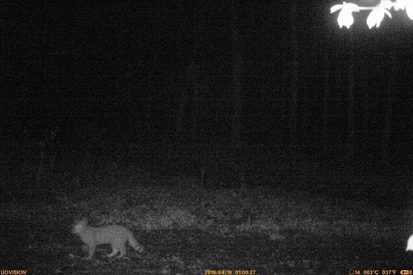 На Тернопільщині помітили рідкісного дикого кота