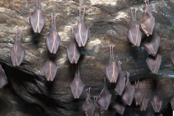 Величезна колонія кажанів зимує в єдиній у світі печері трипільської культури, що на Тернопільщині (Відео)