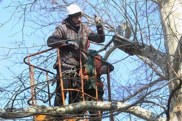 Хто і чому обрізає дерева у тернопільських парках?