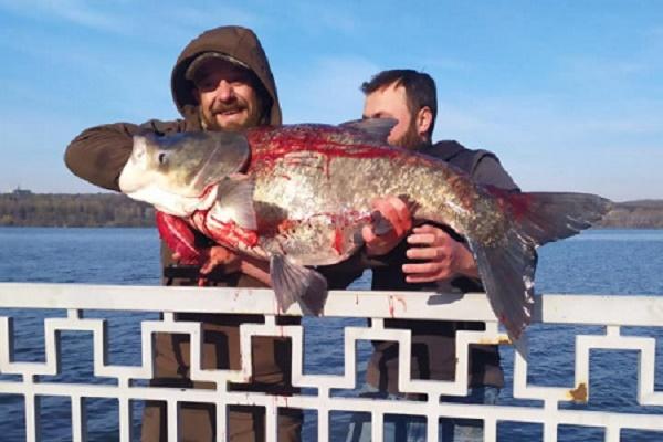 У Тернополі на ставі спіймали гігантську рибину