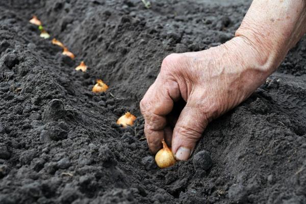 Вирощуємо цибулю-саджанку: рекомендує мережа магазинів «Урожай»