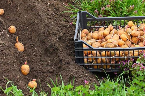 Популярні сорти насіннєвої картоплі, – садимо з «Урожаєм»
