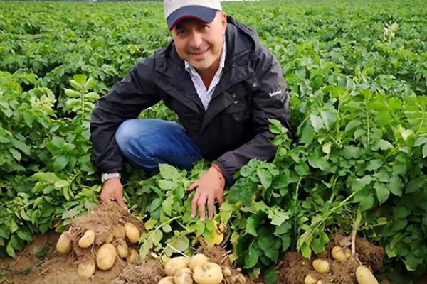 Стало відомо чи вистачить українцям цьогоріч вітчизняної картоплі