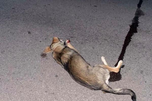 Тернополяни намагаються врятувати збиту собаку
