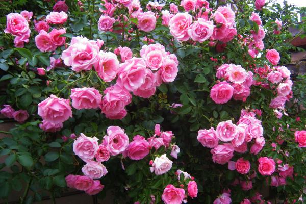 Вже відцвітає чайна троянда, поспішіть зібрати її пелюстки