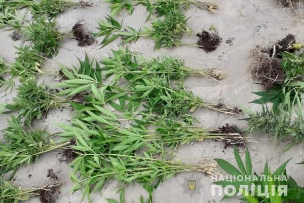 «Незаконне городництво»: у чоловіка з Тернопільщини вилучили 630 рослин коноплі